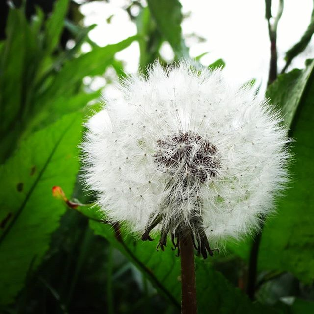 #autohash #UnitedKingdom #dandelion #nature #flora #summer #flower #growth #leaf #seed #delicate #outdoors #closeup #garden #floral #bright #wild #downy #season #grass #environment #fairy - from Instagram