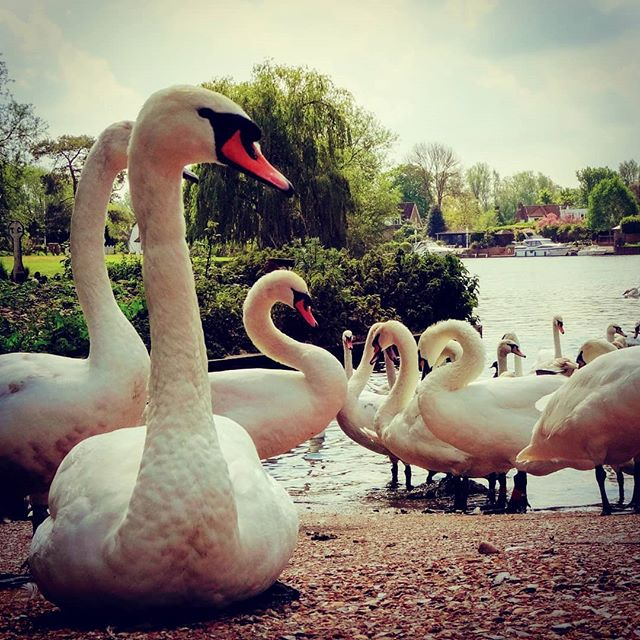 #riverthames #autohash #UnitedKingdom #England #staines #water #bird #lake #swan #outdoors #nature #summer #pool #swimming #wildlife #waterfowl #poultry #duck #group #animal #flamingo #landscape #park - from Instagram