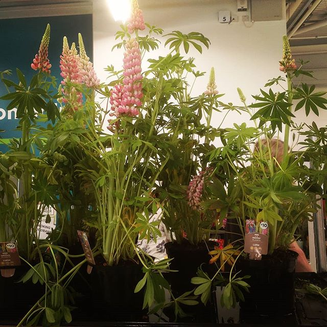 Lupins in ASDA #autohash #UnitedKingdom #England #flower #tree #flora #house #garden #greenhouse #outdoors #nature #decoration #pot #architecture #season #conservatory #horticulture #growth #leaf #agriculture - from Instagram