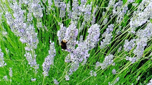 #autohash #shepperton #UnitedKingdom #England #nature #flower #bee #honey #flora #summer #perfume #pollination #cluster #insect #aromatherapy #aromatic #garden #blooming #closeup #bumblebee #season #fragrant - from Instagram